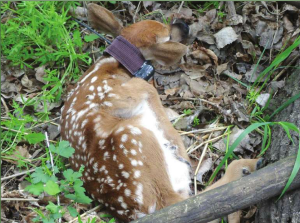 A fawn with a radio collar from South Dakota GFP, from a story written by Matthew Stoffel for South Dakota Conservation Digest called A Big Search for Little Deer