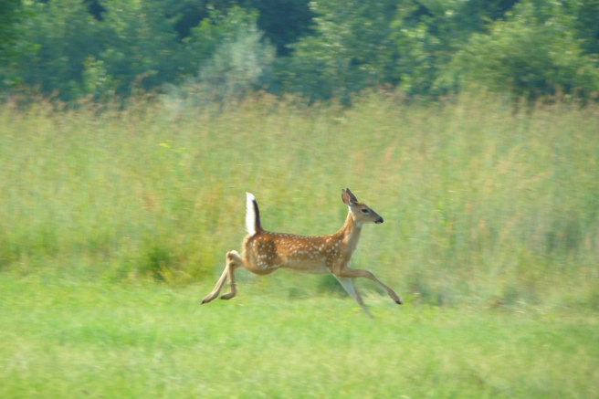 Fawn running, photo by Matthew Stoffel, taken at The Outdoor Campus